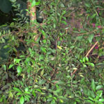 الحناء | الحنة | Lawsonia inermis | Henna