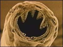 الديدان الخطافية Hookworms