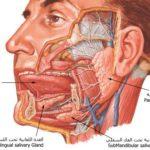 الغدد تحت اللسانية sublingual gland | تشريح جسم الانسان