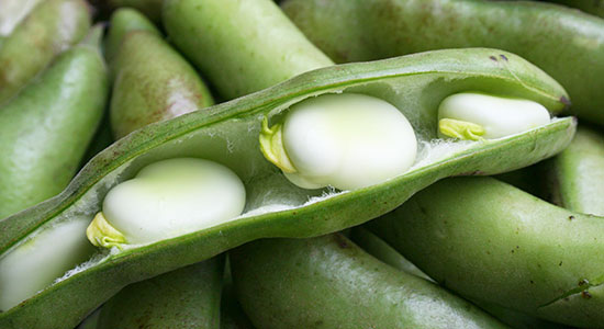استعمالات وفوائد الفول Vicia faba   Fava Bean
