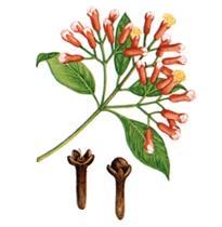 القرنفل | القرنفول Clove