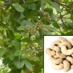 الكاجو   كاجو Cashew Nuts   anacardium occidentale