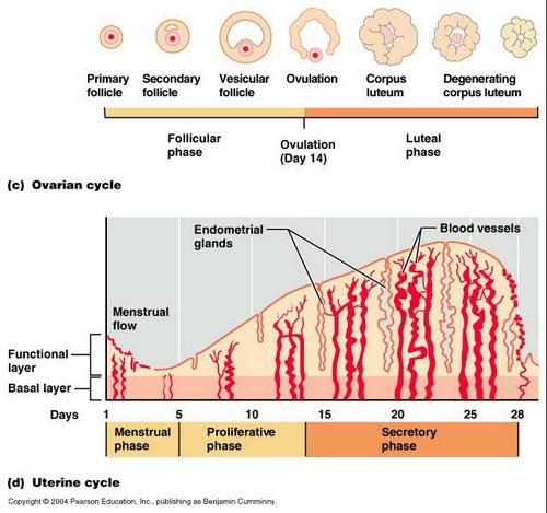 بدء الدورة الشهرية وانتاج الهرمونات الانثوية