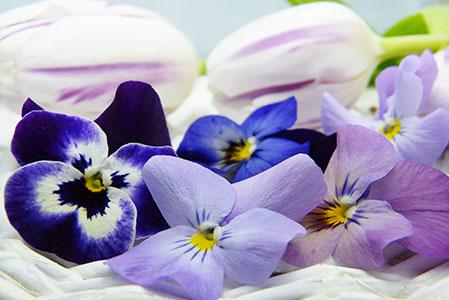 زهرة البنفسج Violet   Wild Viola