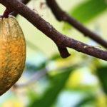 كاكاو | شوكولاته Cocoa | Chocolate tree