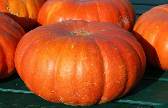 اليقطين | يقطين | القرع | قرع | الدباء | العسلي Pumpkin | cucurbita pepo