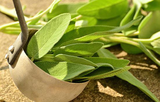 المريمية | المرامية | الميرمية Salvia Officinalis | Sage