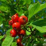 العلاج بالأعشاب الصحية لأمراض القلب