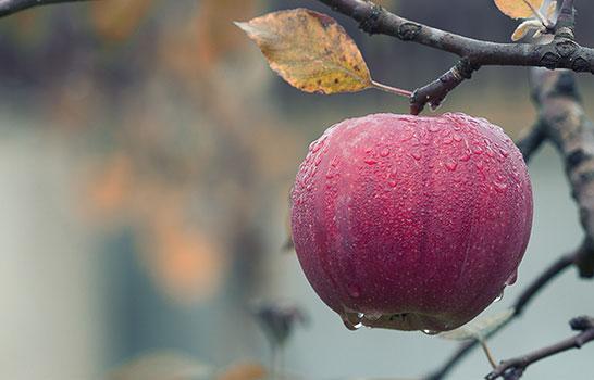 التفاح حارق الدهون ومساعد للهضم