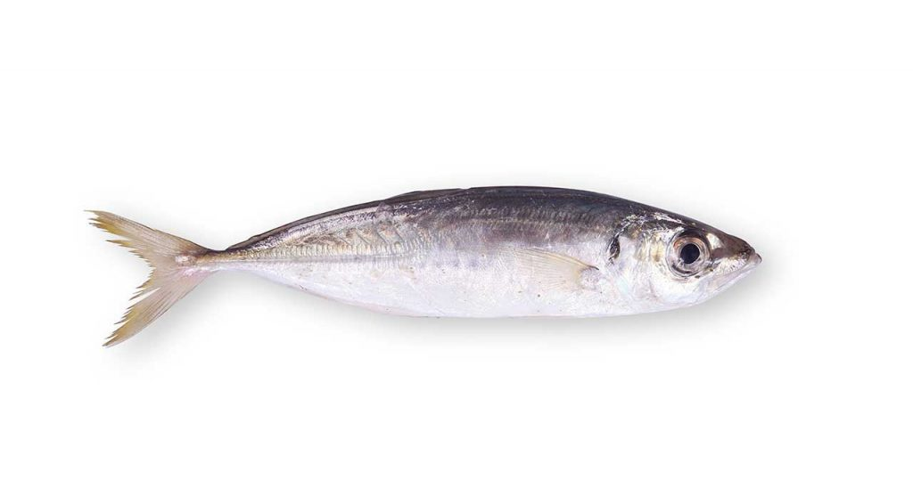 سمك الأنشوفة Anchovy