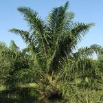 زيت النخيل صحي أم ضار؟ Palm oil