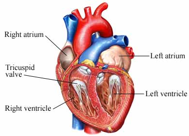 Anatomy of the_Heart