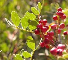 Pistacia lentiscus , Lentisco , lentisque