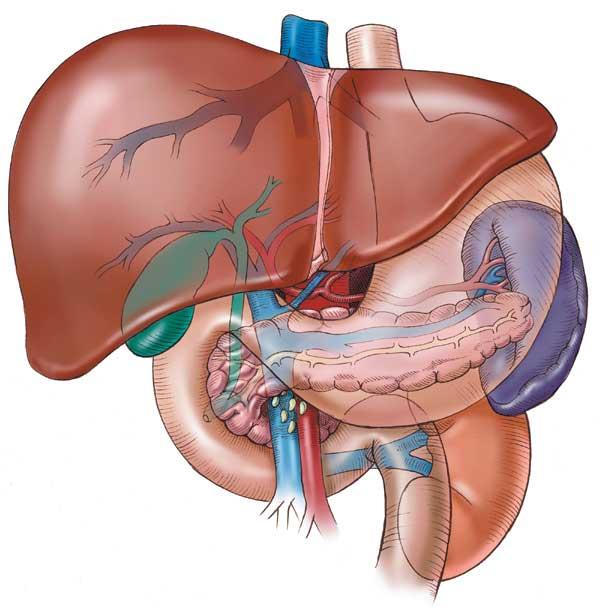 liver.jpg
