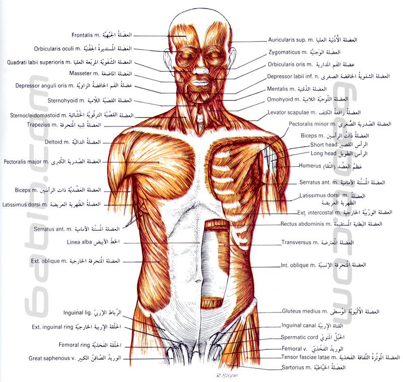 عضلات العضلات الجهاز العضلي Muscular System تشريح جسم الانسان طبيب دوت كوم