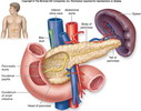 ����� ��������� pancreas anatomy