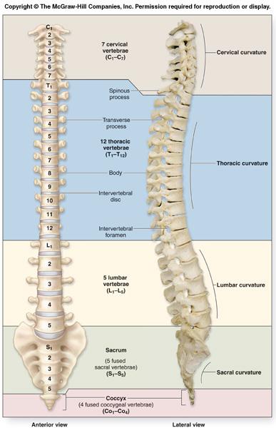 تشريح العمود الفقري vertebral_column