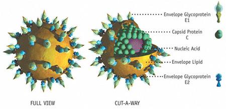 التهاب الكبد الفيروسي ج –  الوباء الصامت -  Hepatitis C