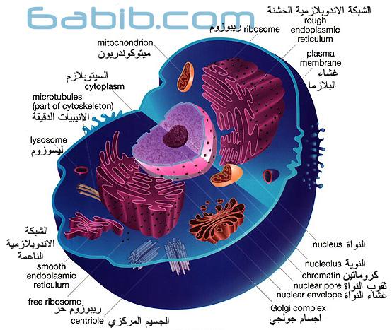 خلية حيوانية